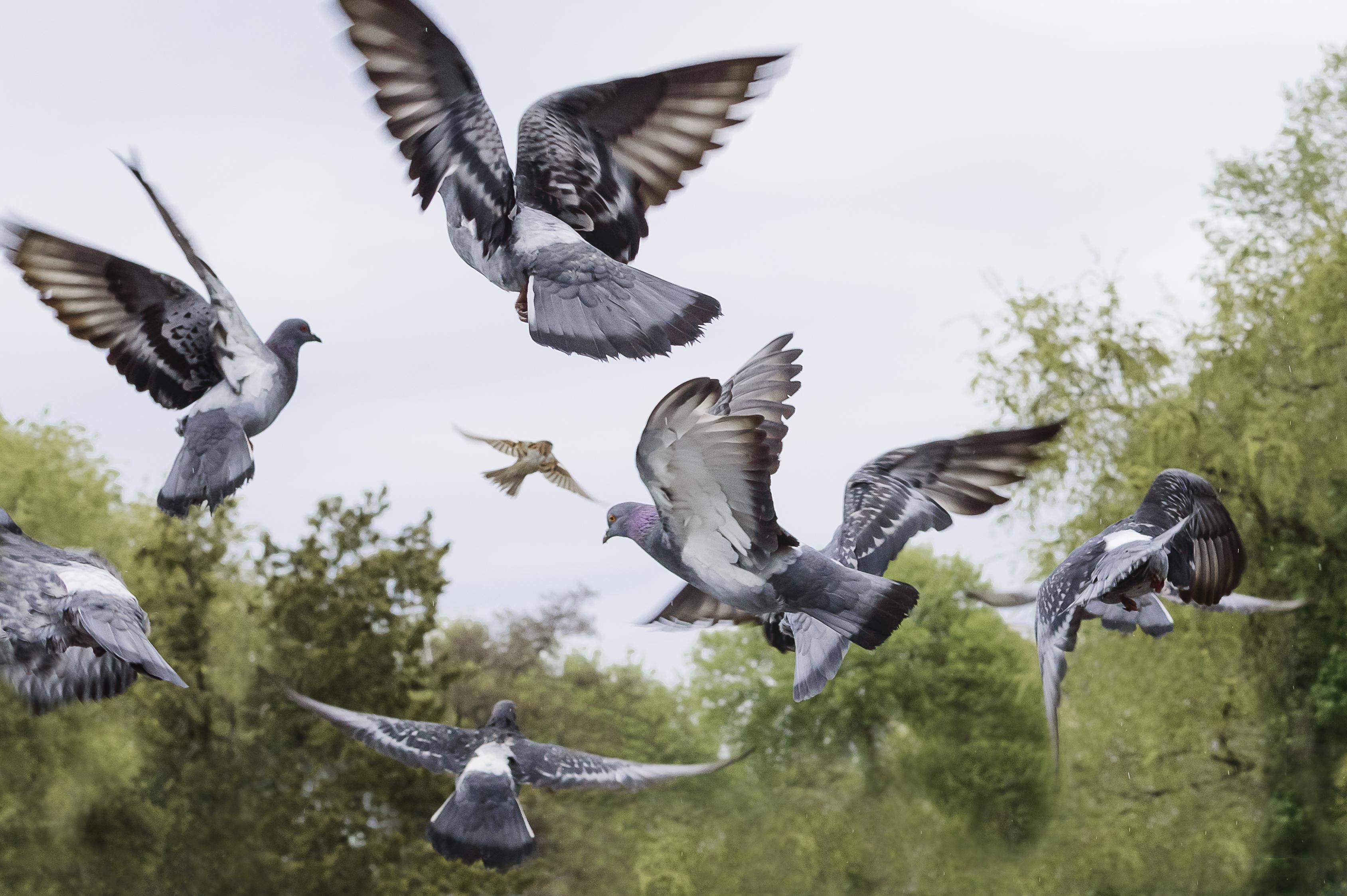 Cómo ahuyentar las palomas y otras aves